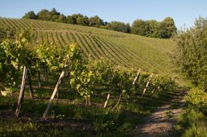 Zahlreiche Wanderwege an der Südsteirischen Weinstraße führen direkt durch die Weinberge.