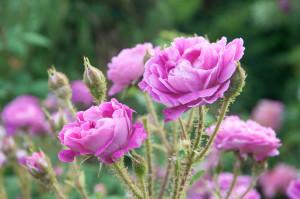 Besonders viel Wert wird auf alte Rosensorten gelegt. Zum Beispiel die Moosrose mit besonders intensiven Duft.