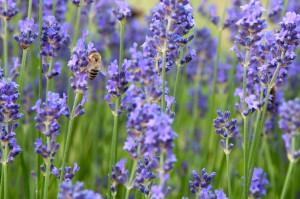 Renates kleine Helfer sind die Bienen. Ohne Bienen gibt es kein pflanzliches Leben und auch keinen Honig, den Renate Polz im Genussregal verkauft.