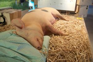 Ein wichtiger Teil der Ausstellung im Genussregal ist den regionalen Lebensmitteln, hier dem Vulcano-Schwein, gewidmet.