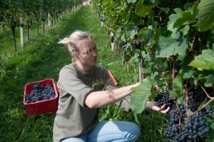 Die Trauben für den Qualitätswein haben noch ein wenig Zeit zu reifen.