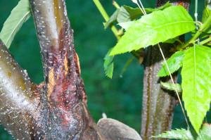 Der Kastanienrindenkrebs, eine Pilzkrankheit, hat in den 80er Jahren viele wild wachsende Kastanienbäume umgebracht.