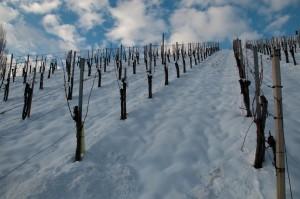 Die Familie Reiterer ist gerade erst mit dem Schneiden der Weinstöcke fertig geworden.