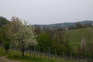 Alles blüht an der südsteirischen Weinstraße.