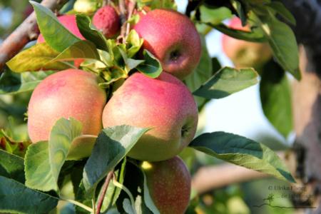 Fruchtsaftverkostung am Obsthof Dietrich - Foto: Ulrike Elsneg
