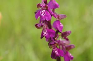 Kleines Knabenkraut, Orchis morio