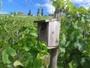 Nistkasten im Bio-Weingarten
