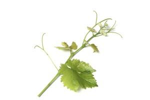 Trieb der Sorte Sauvignon Blanc